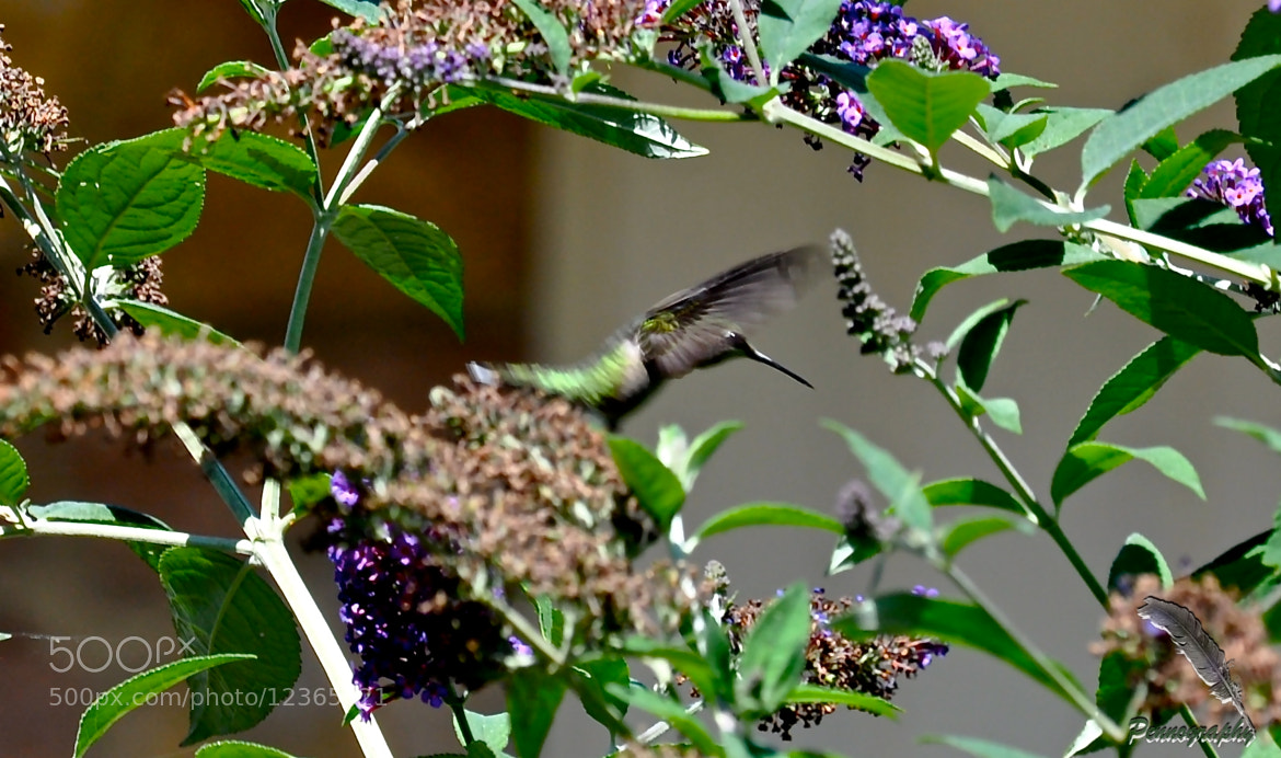 Photograph Invader of the Butterfly Bush by Jeremy Penn on 500px