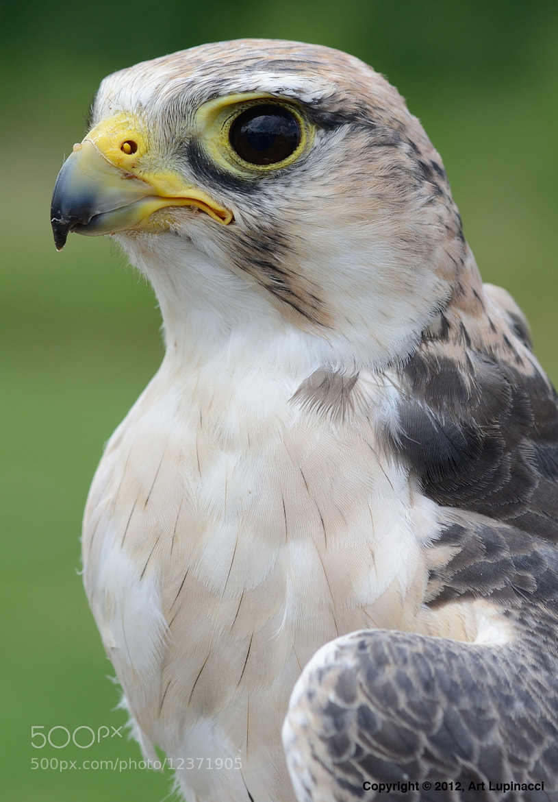 Photograph Falcon by Art Lupinacci on 500px