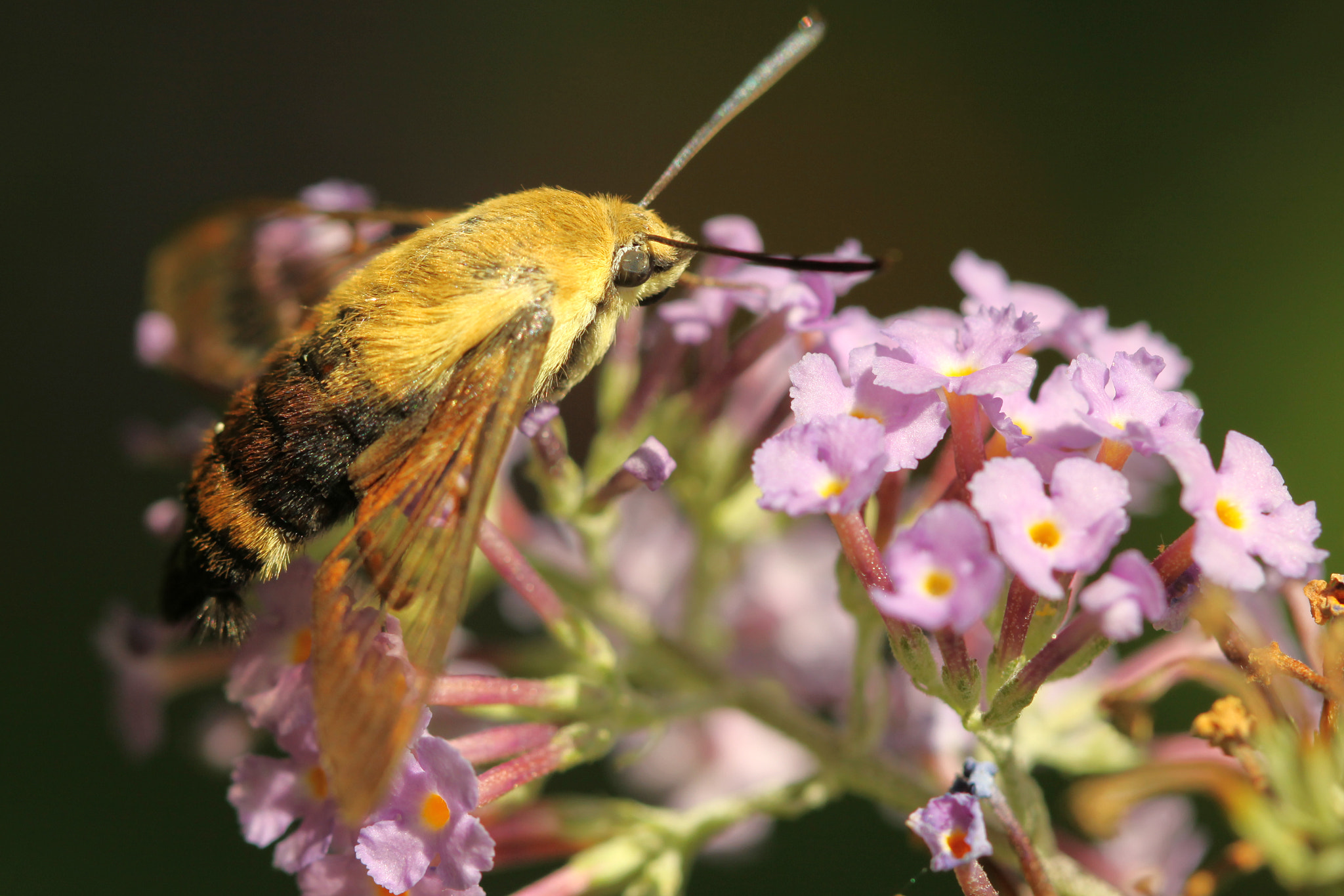 Photograph Resting Hummingbird Moth by Kenneth  Maurer on 500px