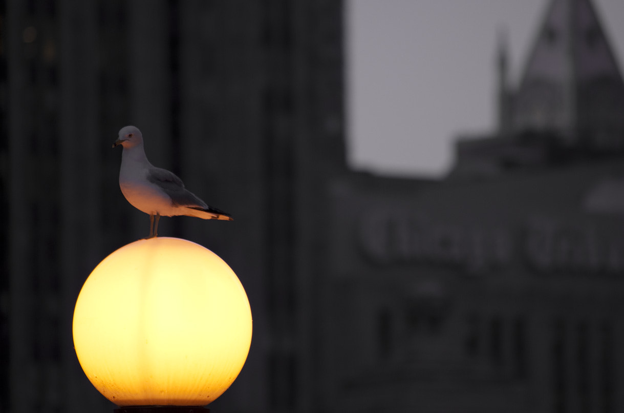 Photograph Chicago Bird by Todd Mobray on 500px