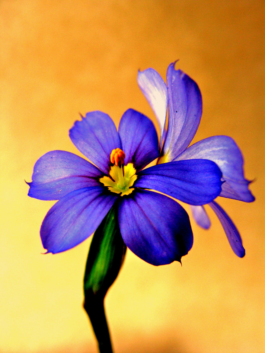 Photograph I'm blue on yellow. by Lilly C. on 500px