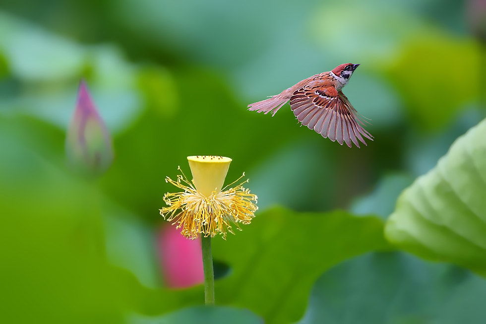 Photograph LOTUS & BIEDS by Dajan Chiou on 500px