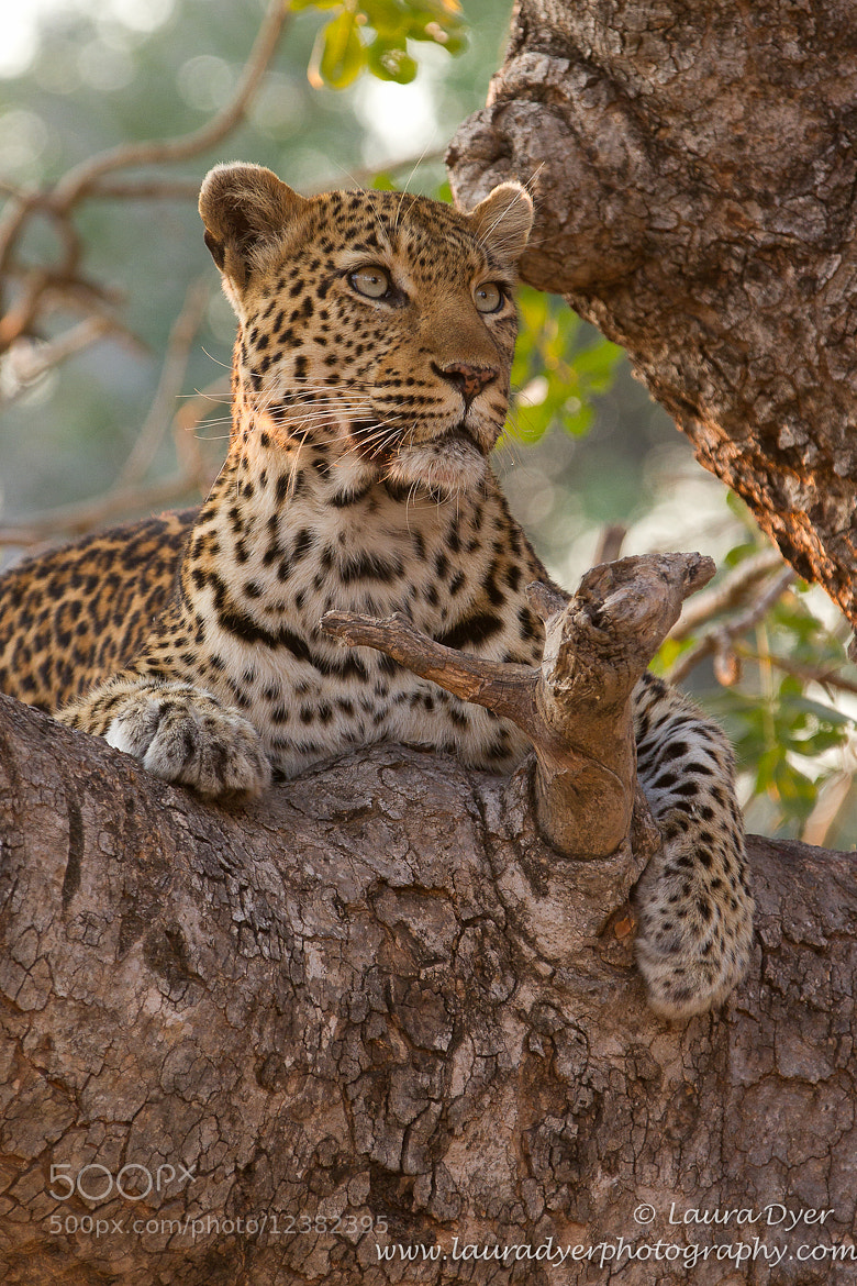 Photograph Leopard by Laura Dyer on 500px