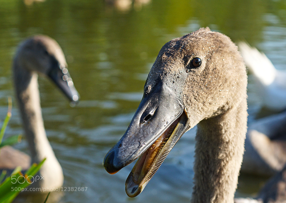 Photograph swan by Rafał Ziółek on 500px