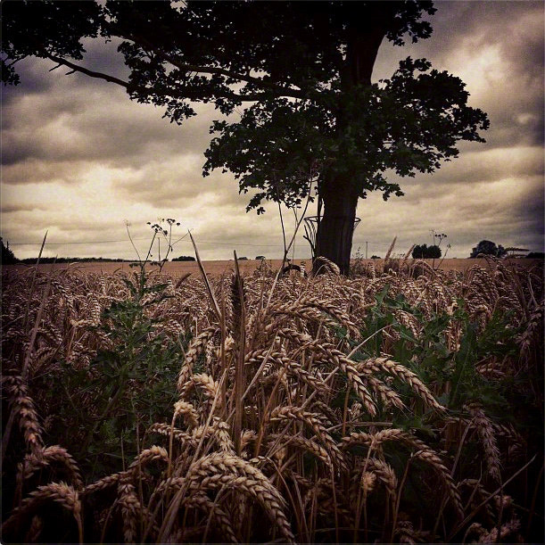 Photograph Tree In Wheat Field by Andrew Barrow ARPS on 500px