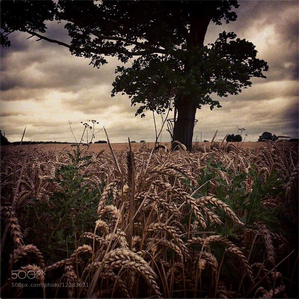 Photograph Tree In Wheat Field by Andrew Barrow LRPS on 500px