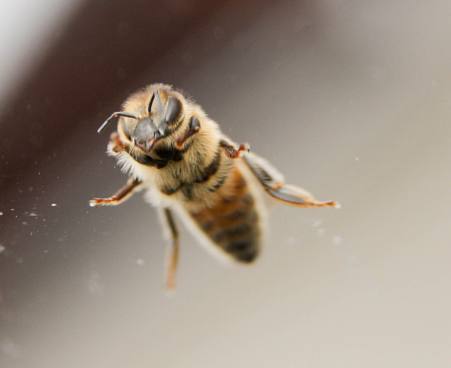 Photograph Bee on glass by Enrico Corneo on 500px