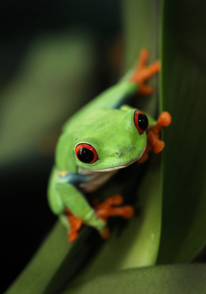 Photograph Red Eye Tree Frog by Patrick IU on 500px