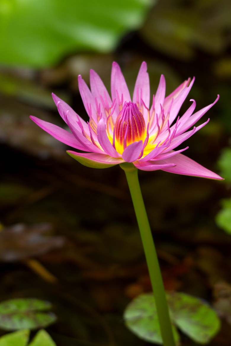Photograph Little lotus by Kevinellie Photography on 500px