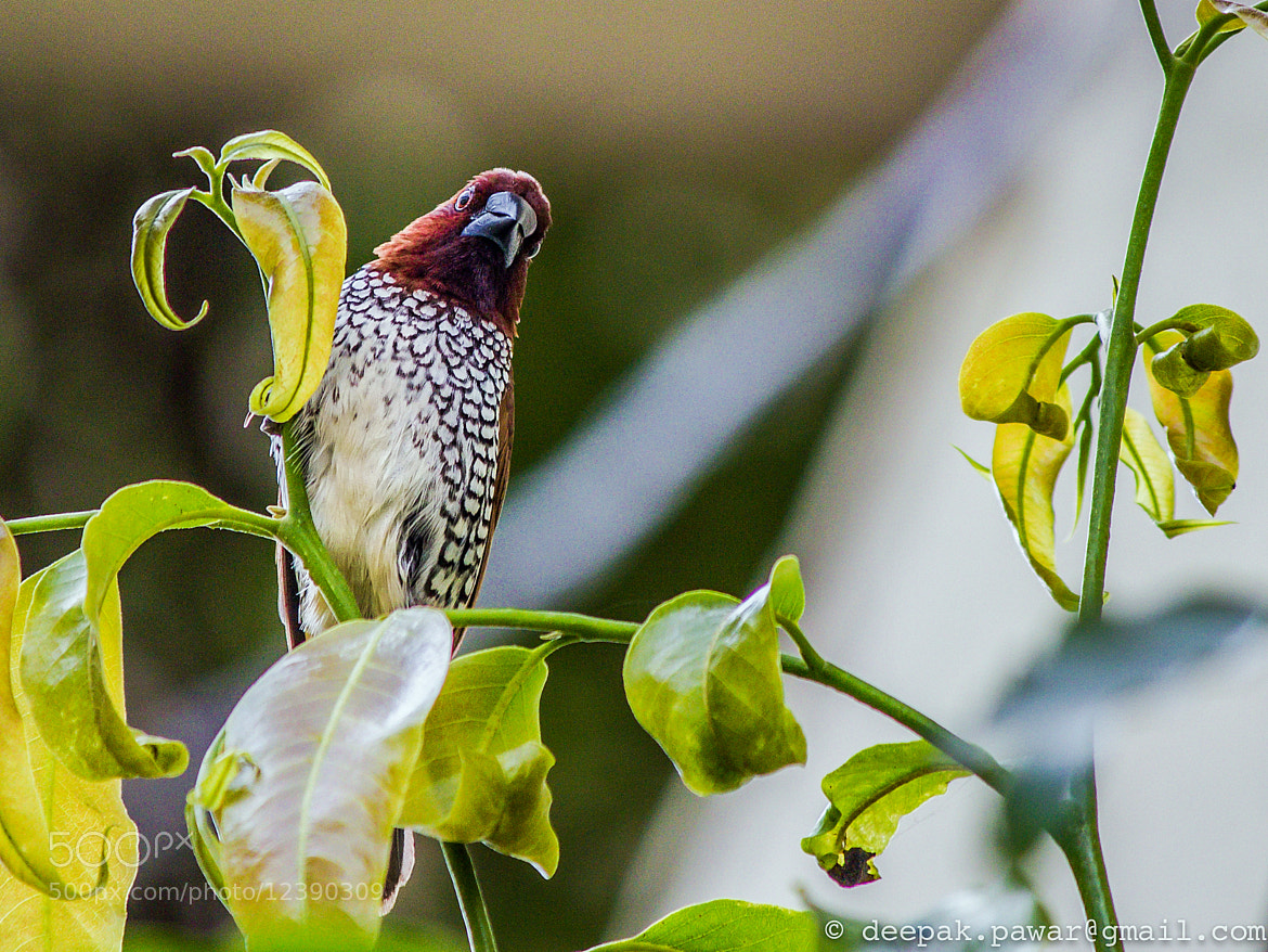 Photograph Scaly breasted Munia by Deepak Pawar on 500px