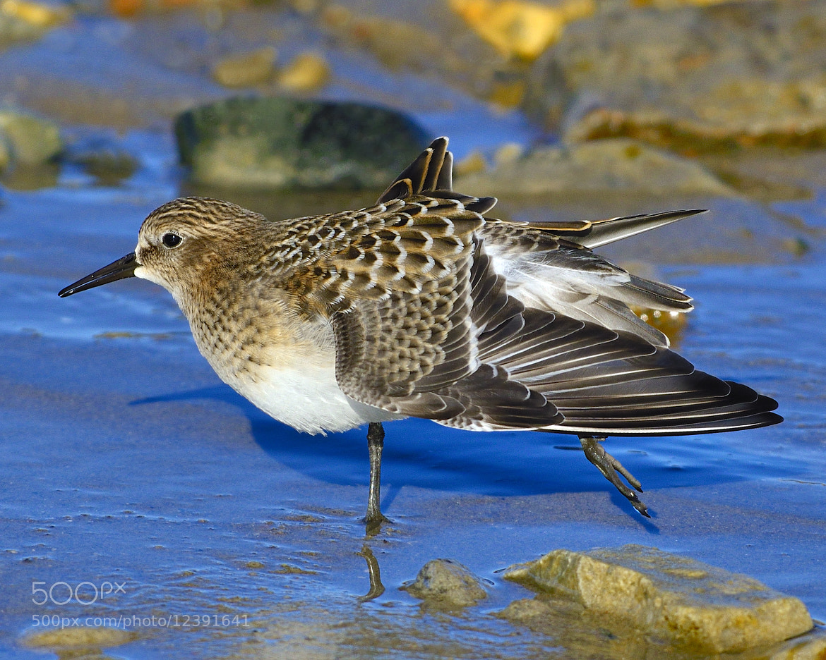Photograph Juvenile Baird's Sandpiper by Tony Beck on 500px
