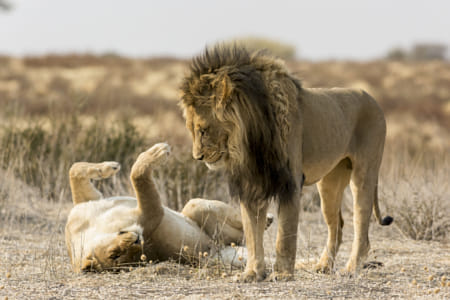 Lions in Kgalagadi