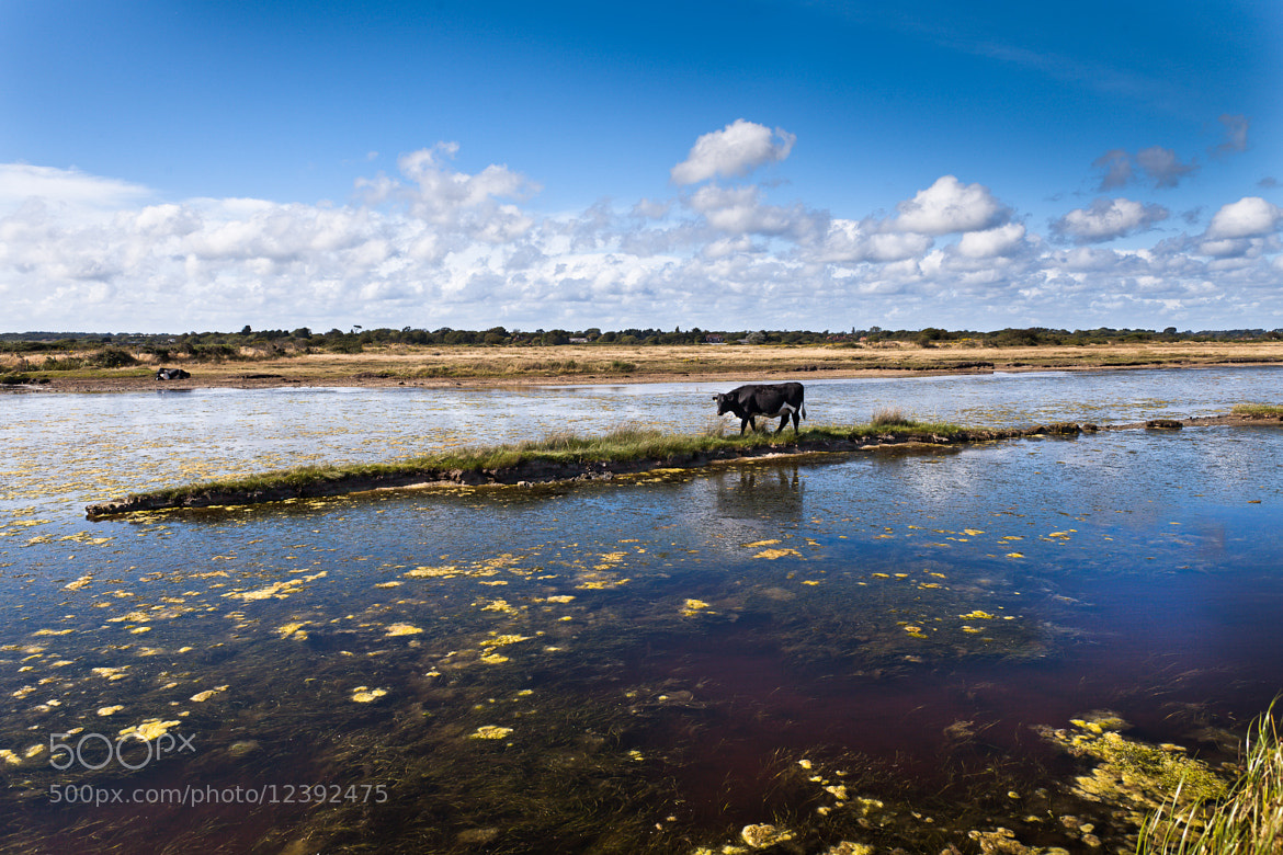Photograph Cow on the Island by Christian Zang on 500px