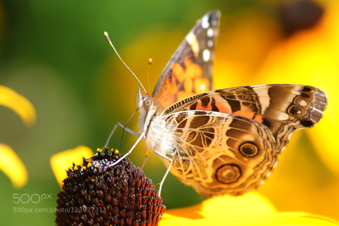 Photograph Pumping Butterfly by Dubois Didier on 500px