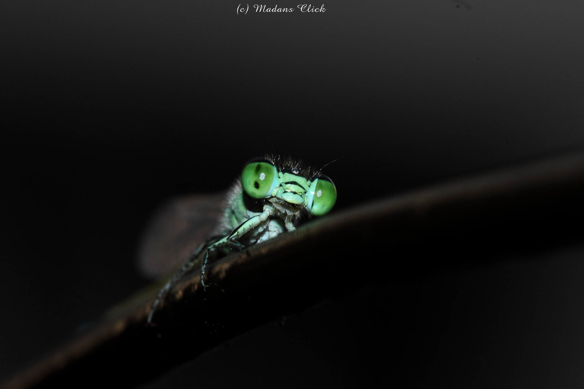 Photograph Peek a Boo with Damsel Fly by Madan GC on 500px
