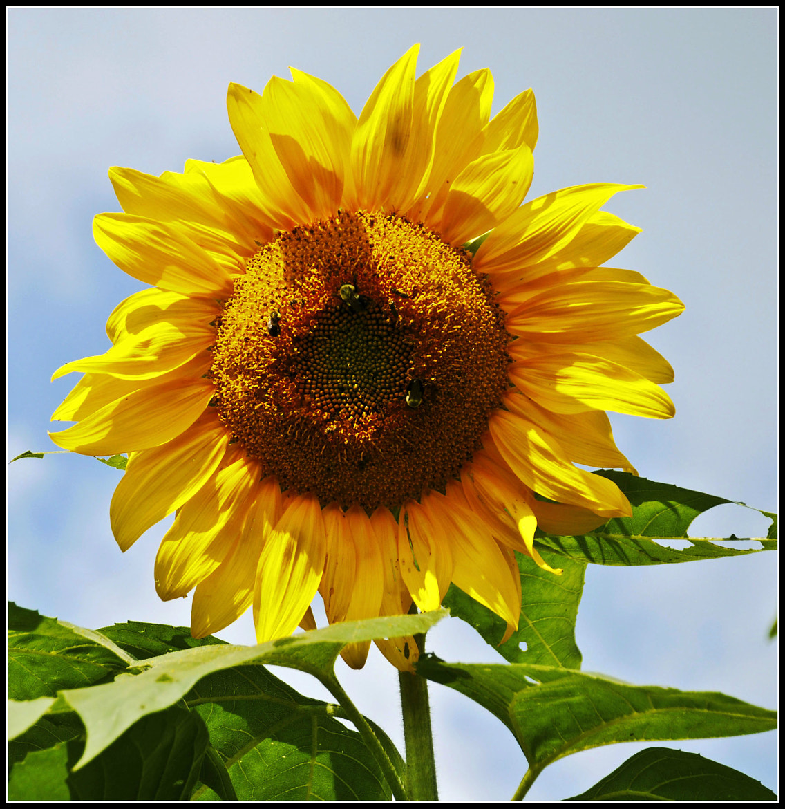 Photograph Sunflower by Jennifer Williams on 500px