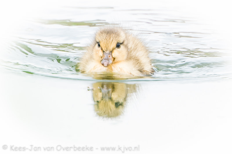 Duck chick in the morning