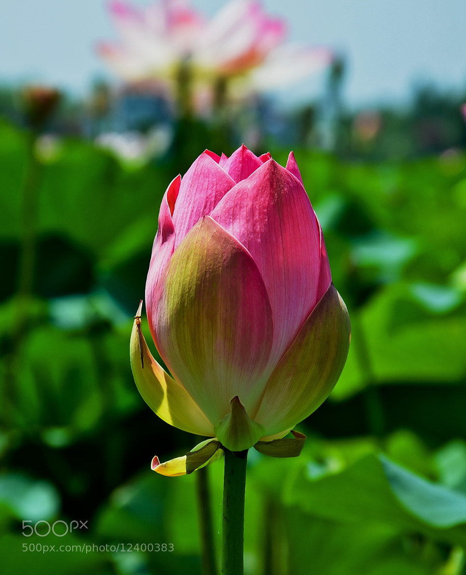 Photograph Lotus Flower 3 by Deen Mohammad on 500px