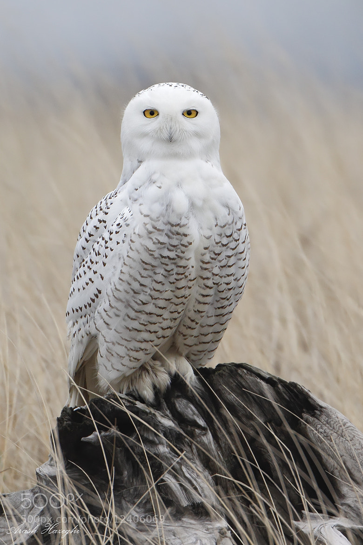 Photograph snowy owl by Ari Hazeghi on 500px