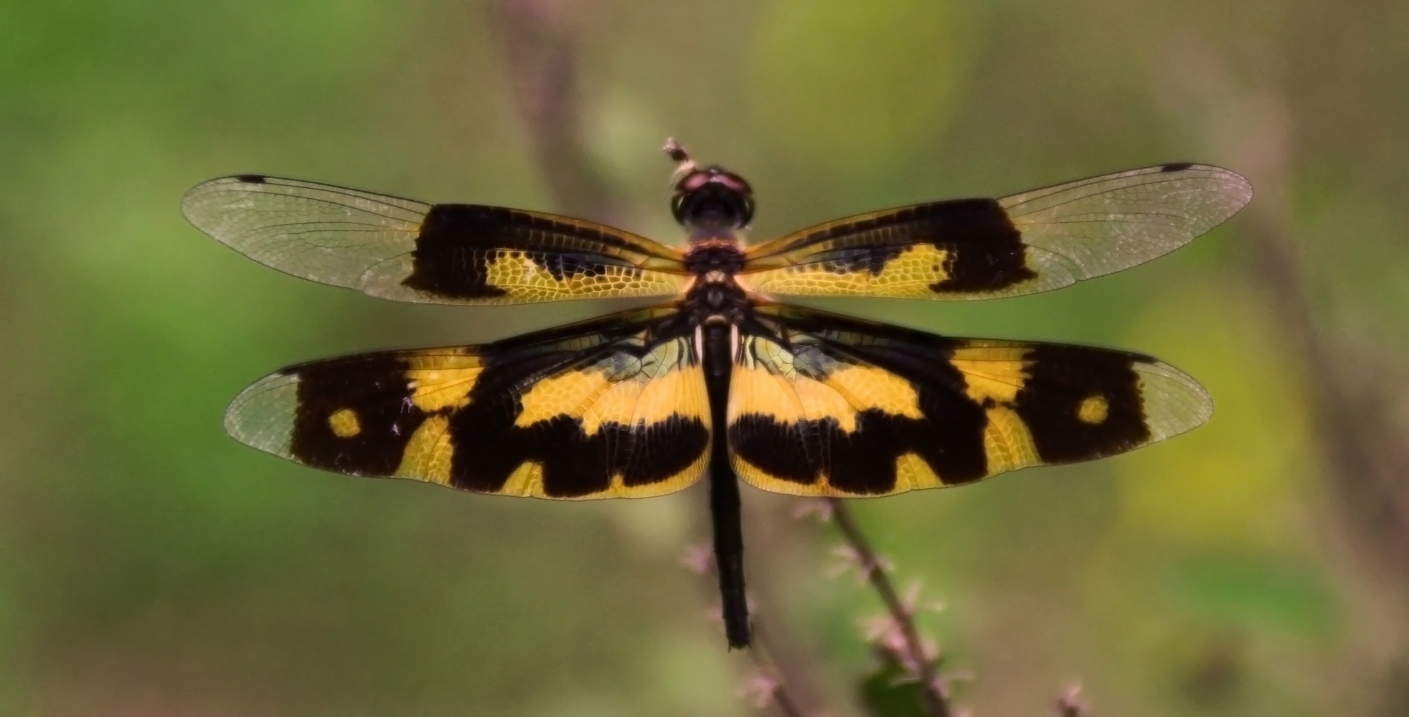 Photograph Yellow black wings...fly by Anshul Tiwari on 500px