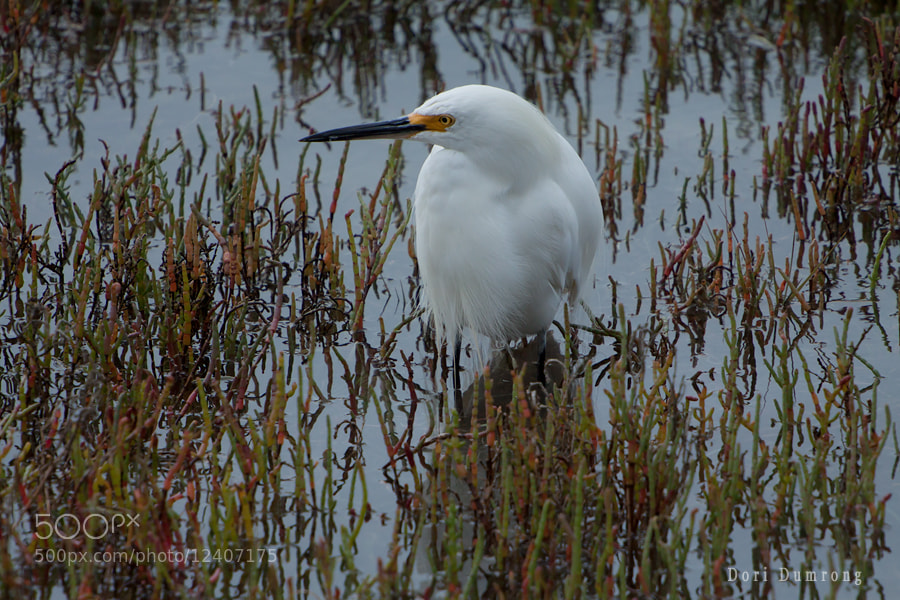 Photograph Snow Egret by Dori Dumrong on 500px