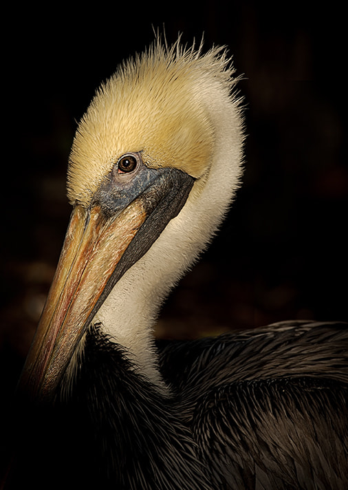 Photograph Brown Pelican Portrait by Christopher R. Gray on 500px