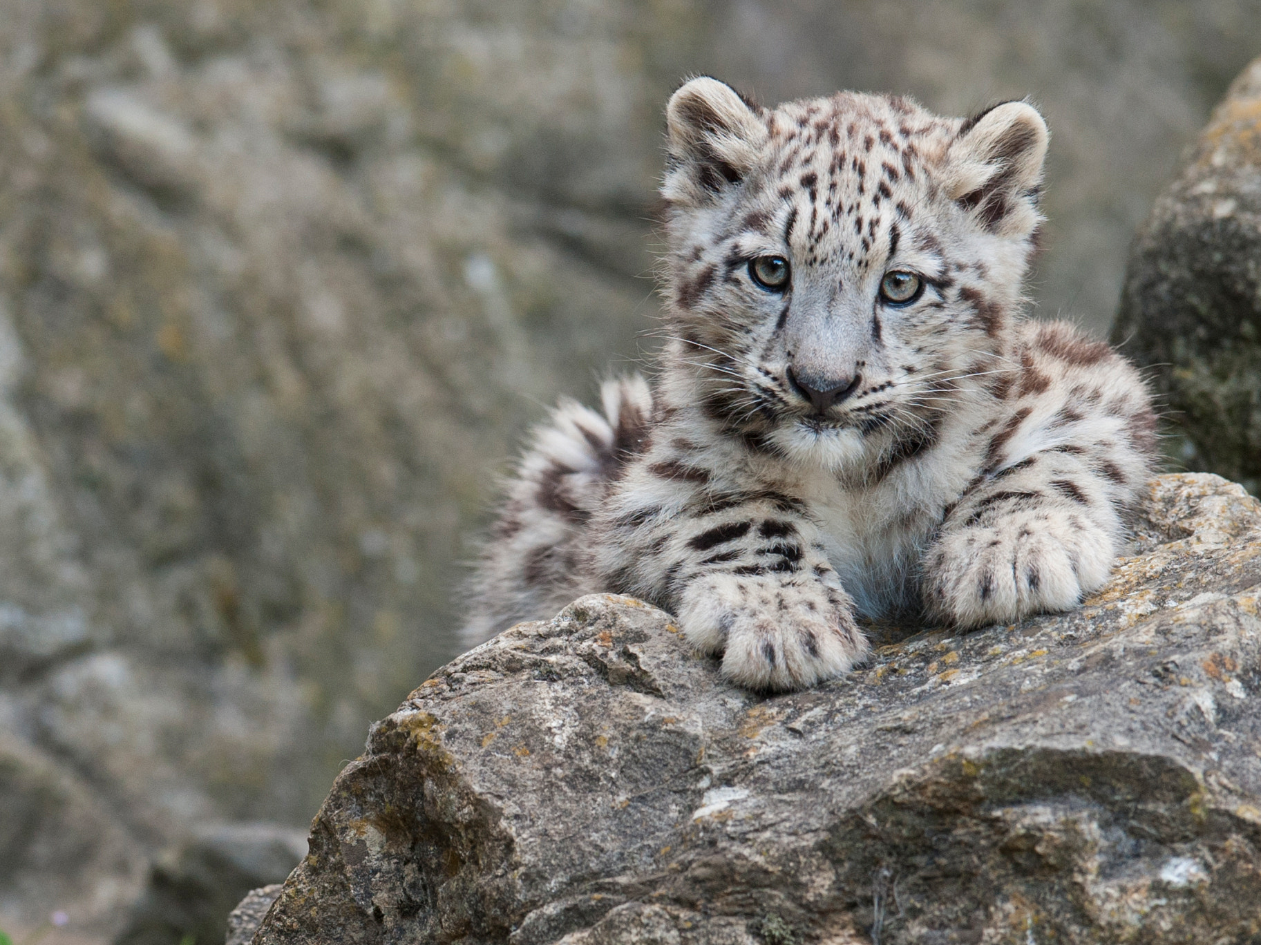 """Photograph Snow leopard Cub """"Mohan"""" by andreas richter on 500px"""