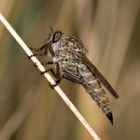 A Robber Fly (Asilidae) on dry grass works well together.