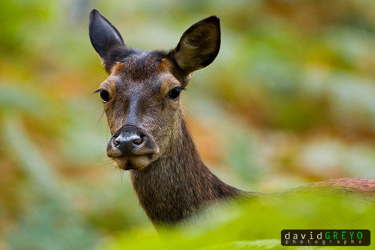 Photograph Red Deer by David Greyo on 500px