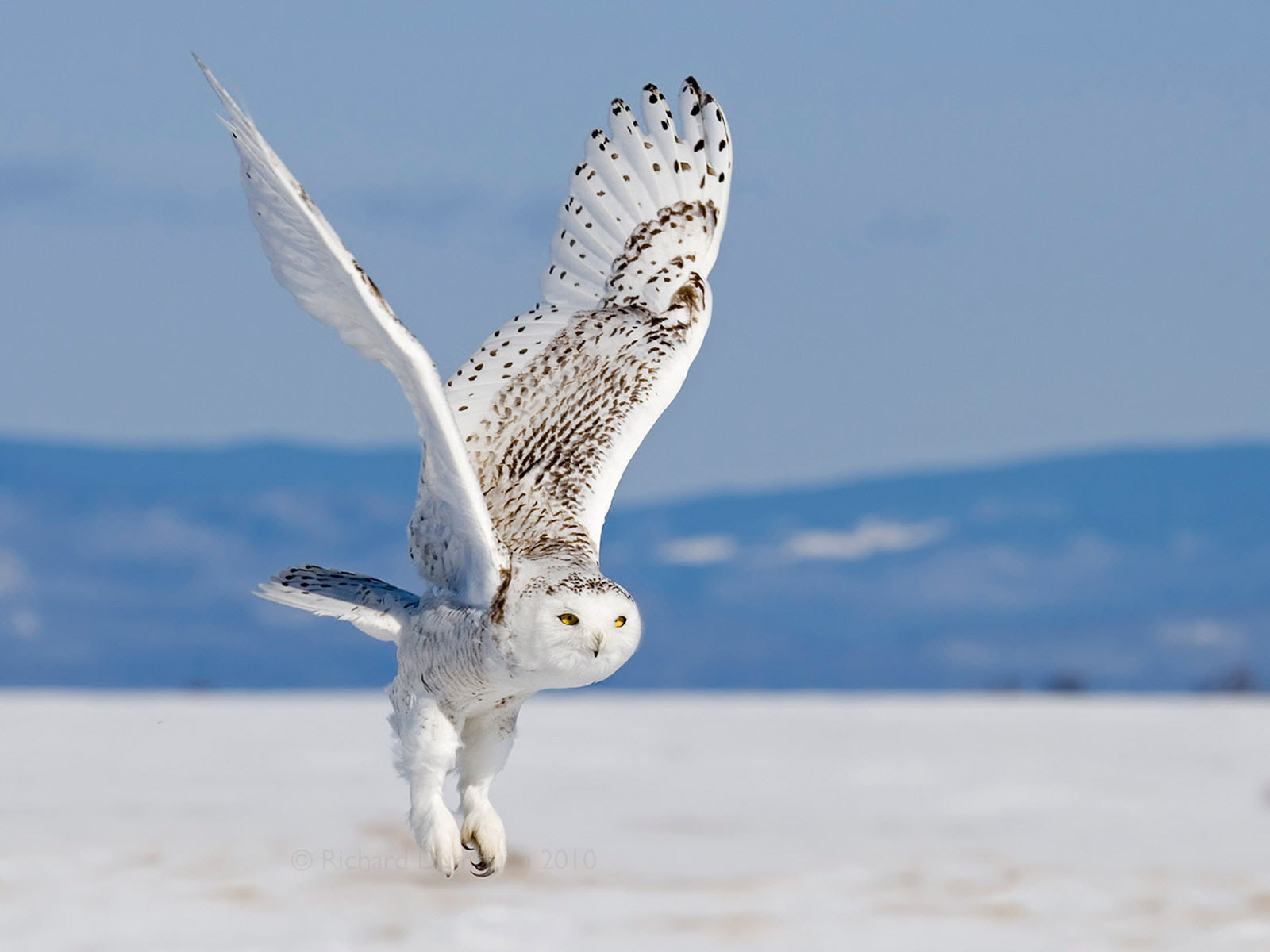 Photograph Snowy owl in flight by Richard Dumoulin on 500px