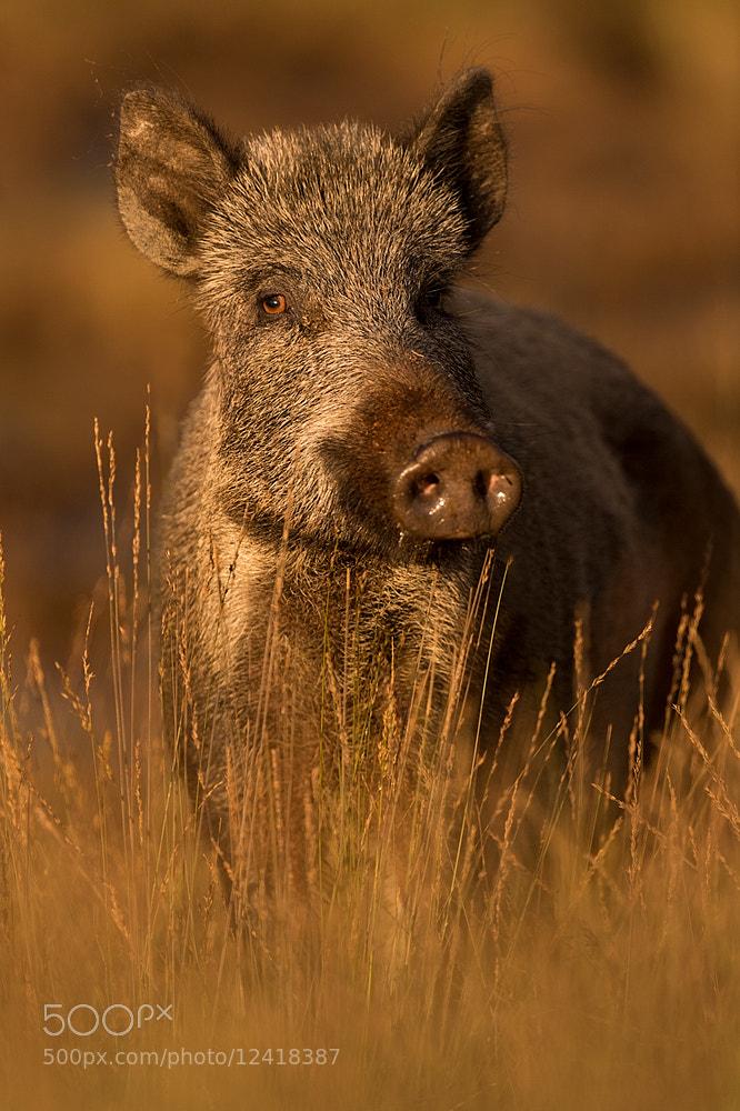 Photograph Wild Boar by Edwin Kats on 500px