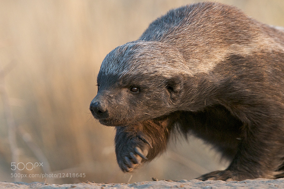 Photograph Honey Badger by Sean Crane on 500px