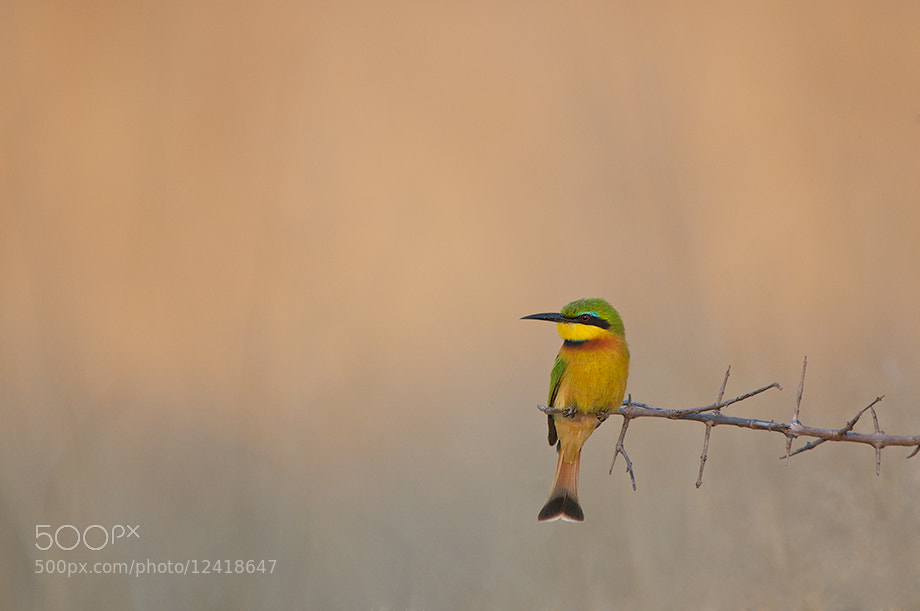 Photograph Little Bee Eater by Sean Crane on 500px