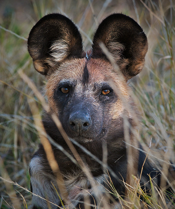 Photograph African Wild Dog by Sean Crane on 500px