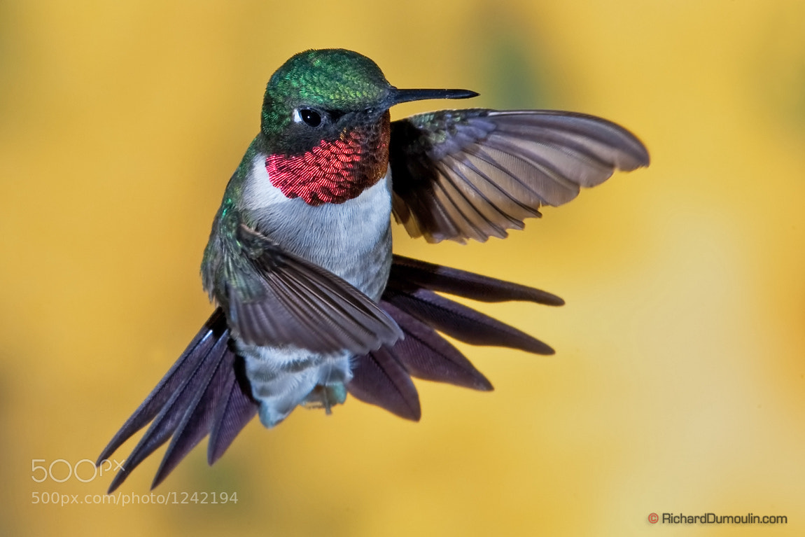 Photograph Ruby-thoated hummingbird by Richard Dumoulin on 500px