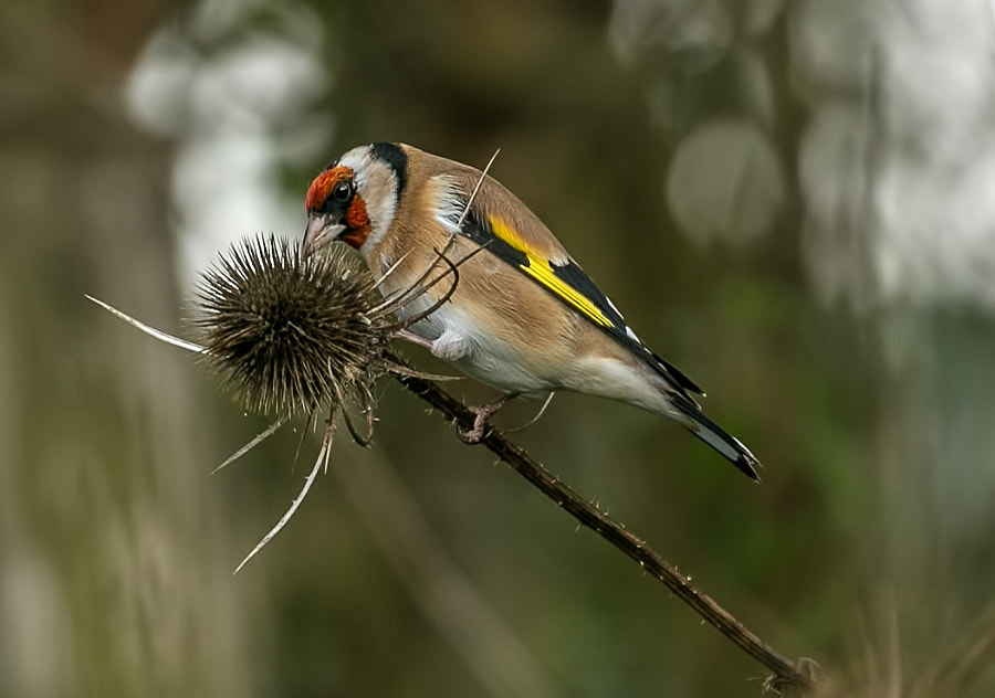 Goldfinch by Charlotte Fabian on 500px.com