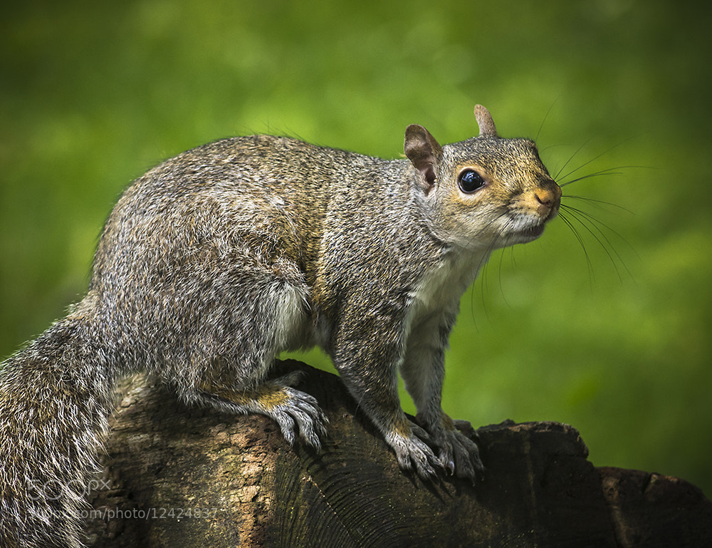 Photograph Posing Grey Squirrel by Andy Butler on 500px