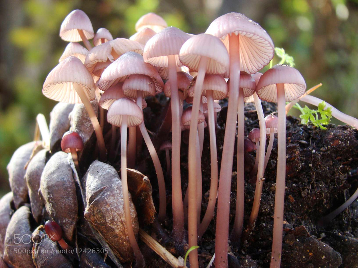 Photograph Mushrooms on Pinecone by Rick Skillin on 500px