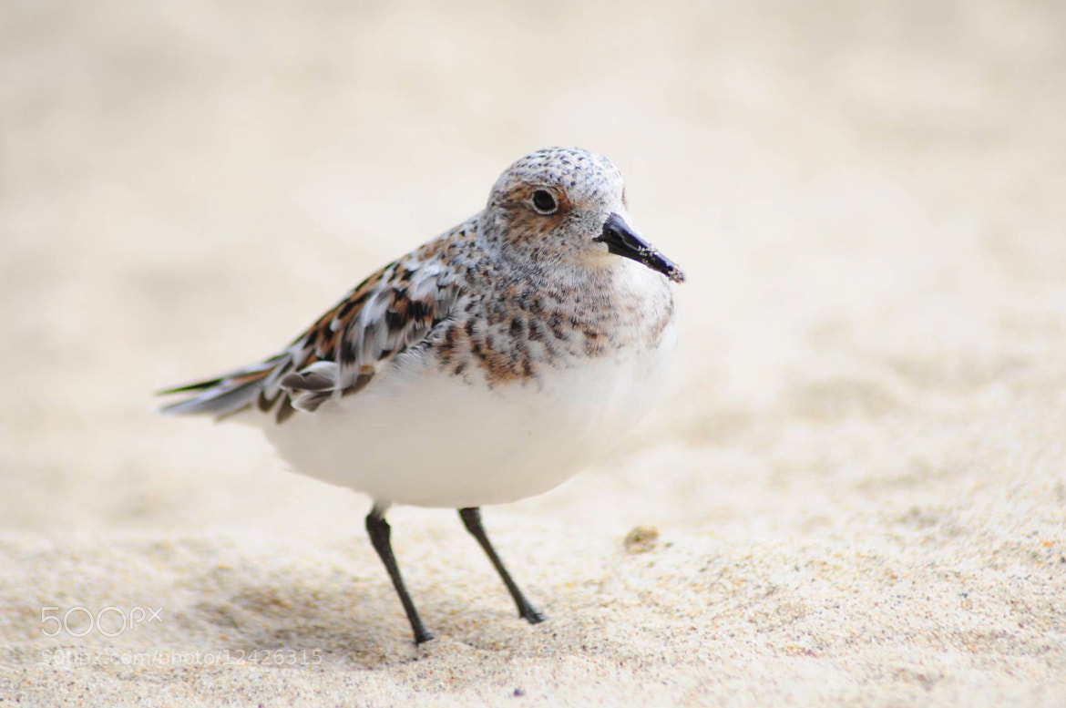 Photograph Sanderling by Rick Skillin on 500px