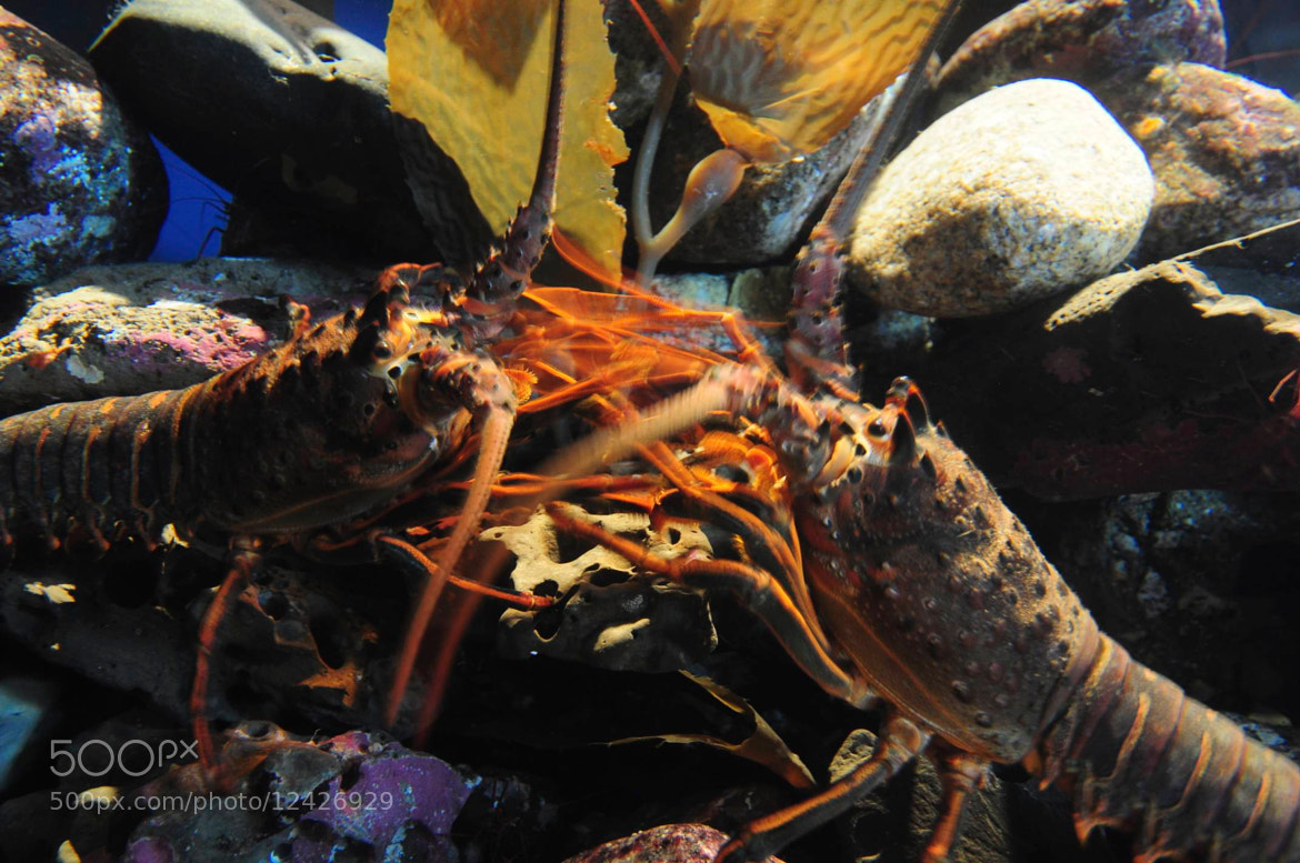 Photograph Crabby Lobsters by Rick Skillin on 500px