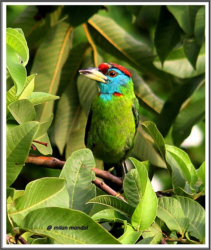Photograph Blue throated Barbet by Milan Mandal on 500px