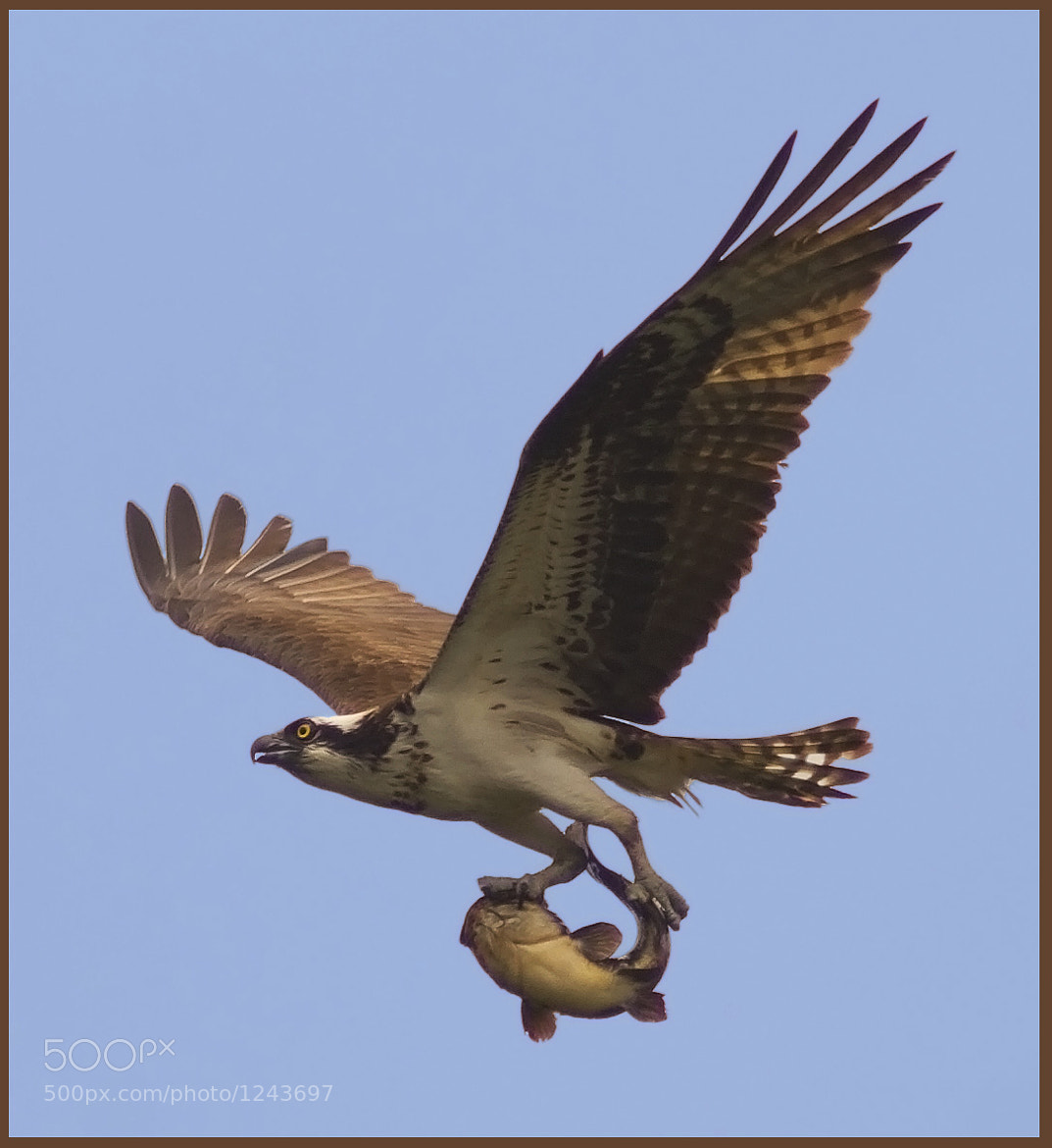 Photograph Osprey with catch of the day by Phil Armishaw on 500px