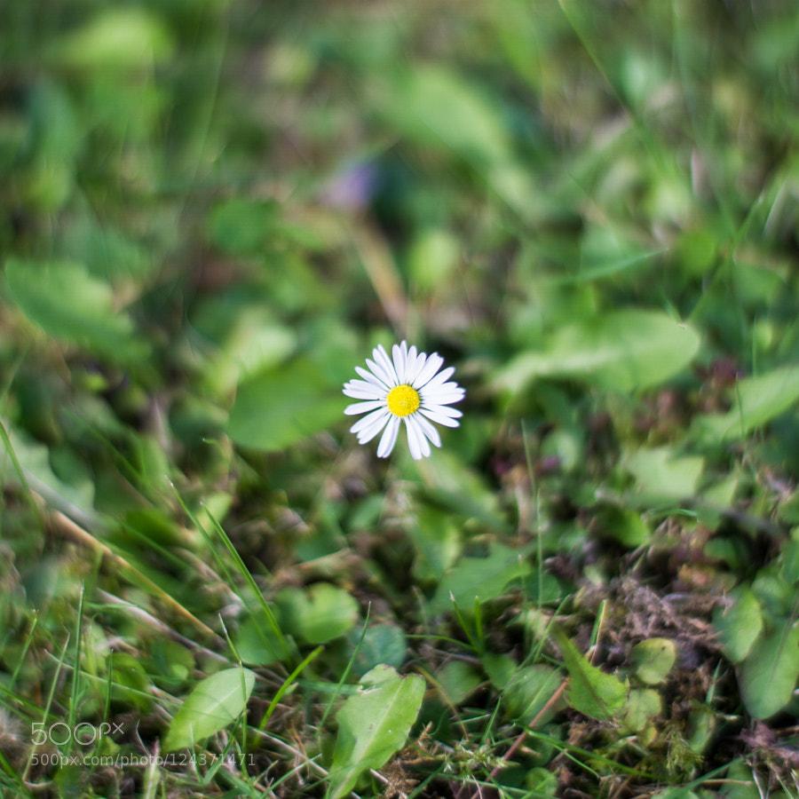 Daisy maisy flowers choice image flower wallpaper hd peter pain pppeter photos 500px daisy maisy izmirmasajfo izmirmasajfo