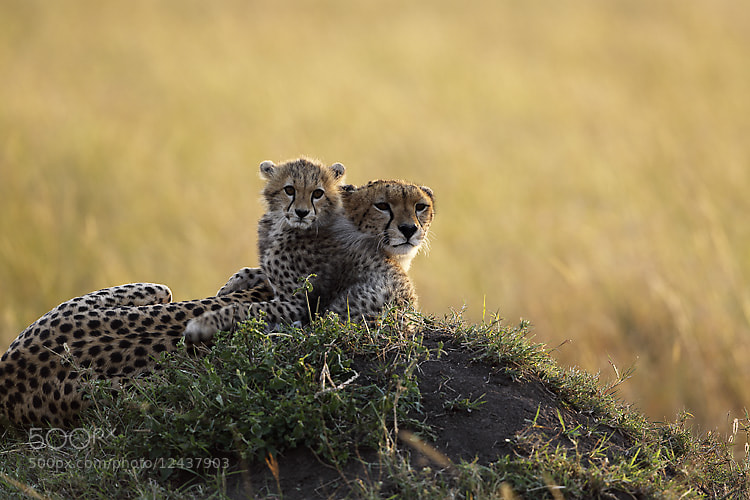 Photograph Mother & cub Cheetah by Yashpal Rathore on 500px