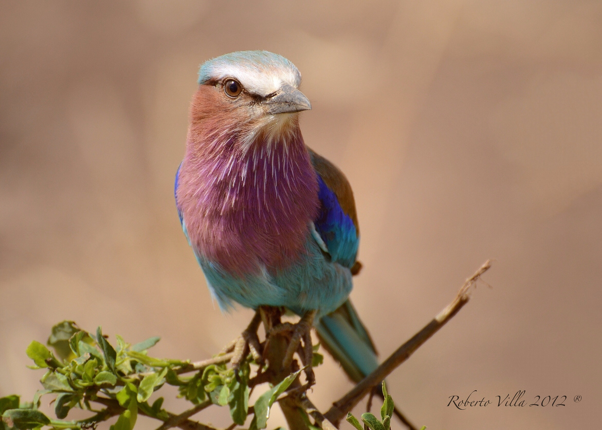 Photograph Lilac Breasted Roller -Serengeti NP by Roby Villa on 500px
