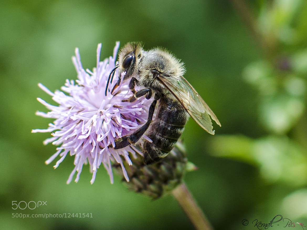 Photograph Bee by Martin Kerndl on 500px