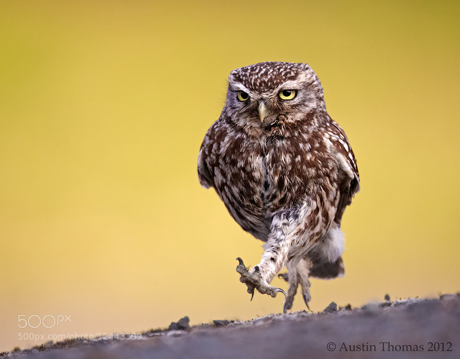 Photograph Walking with attitude... by Austin Thomas on 500px