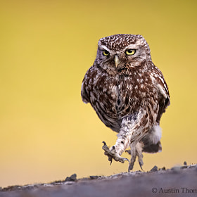 A wild Little Owl out for an early evening stroll...