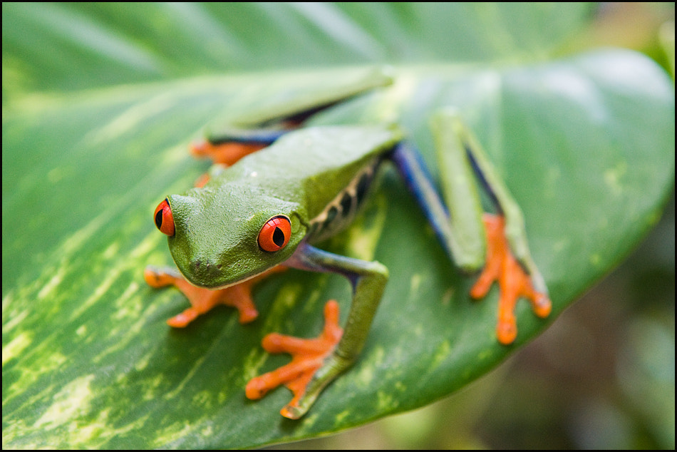 Photograph Red Eyed Tree Frog by Igor Laptev on 500px
