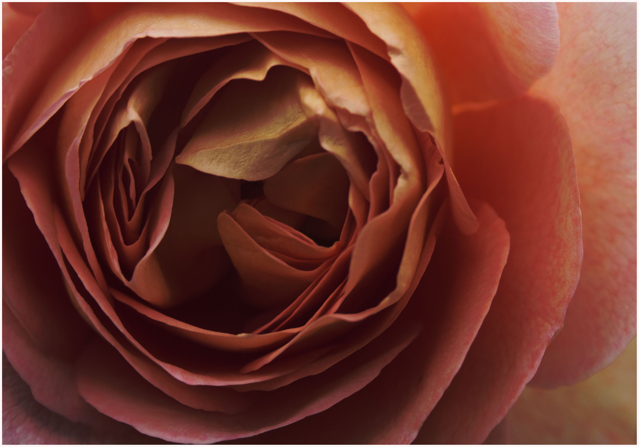 Photograph The Pink Rose by Jamie Hyde on 500px